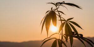 The African Roots of Marijuana